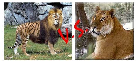Tigon Vs Liger Perbedaan Liger Dan