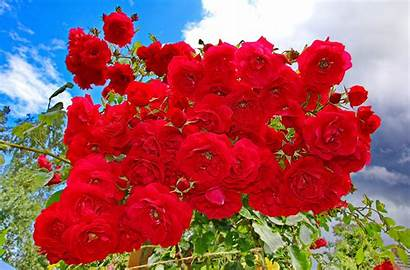 Rose Bush Flower Background Wallpapers Wall Abyss