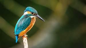 Wallpaper kingfisher, bird, 4k, Animals #17837  Bird