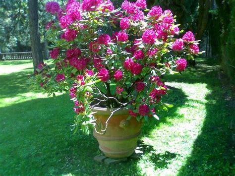 rododendro in vaso rododendro malattie piante da giardino pianta