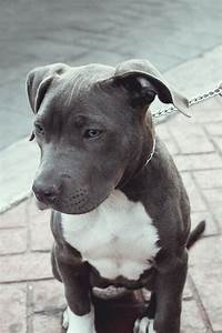 Grey Blue American Pit Bull Terrier cute animals eyes dogs ...