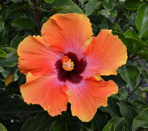 cottage farms hibiscus cottage farms braided hibiscus patio tree auto delivery page 1 qvc