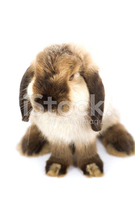 bunny holland lop stock  freeimagescom