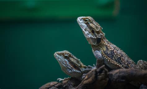 macro photography  green crested lizard  stock photo