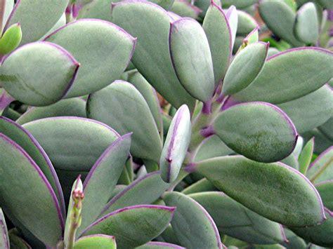 diy potting with senecio crassissimus vertical leaf senecio world of