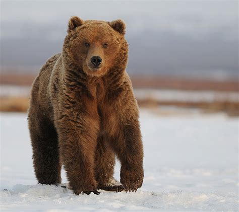 Медвежьи — Традиция