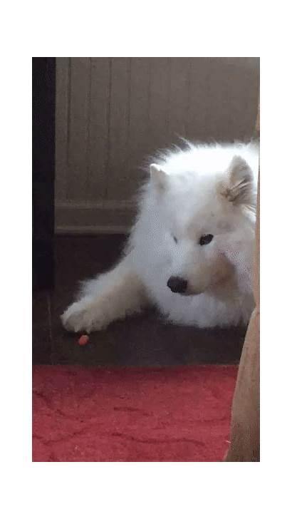 Samoyed Gfycat Dog Gifs Carrot Dogs Breeds