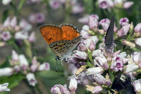 Gorgon Copper (Lycaena gorgon jacquelinae) | This Gorgon ...