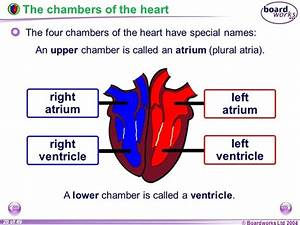 What Are The Four Chambers Of The Heart And Their
