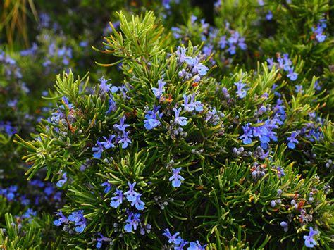 rosemary plant uk cat deterrent plants primrose blog