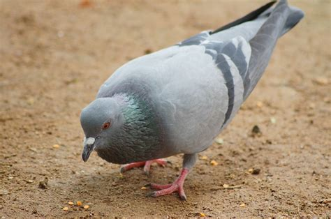 pigeon cuisine free photo dove pigeons birds alive alone free