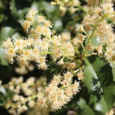 California Native Flowering Plants And Wildflowers Ovlc