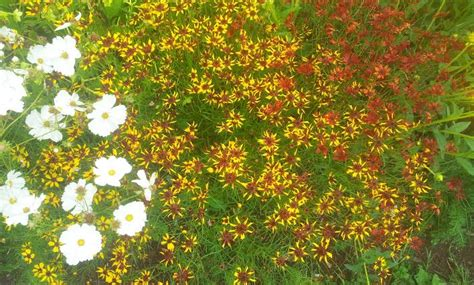 coreopsis mardi gras mixed beds in your cut flower patch higgledy garden