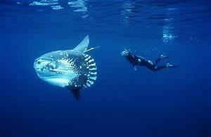 Mola Mola Giant Sunfish | www.pixshark.com - Images ...