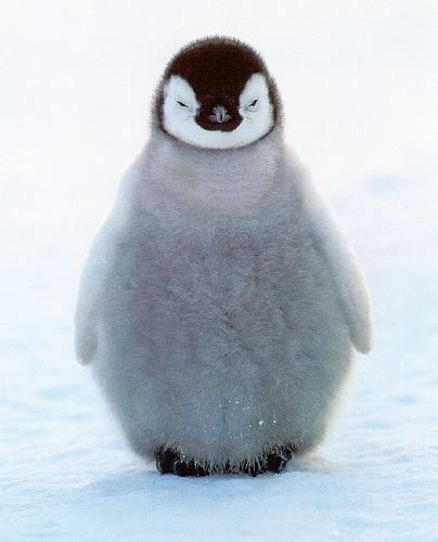 Image result for penguin pictures