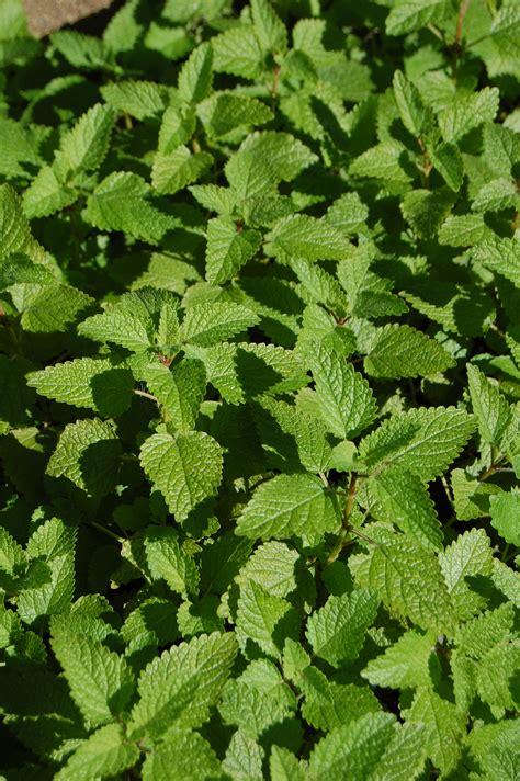 sun herbs shade tolerant herbs