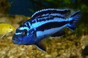File:Melanochromis Maingano Malawi cyaneorhabdos P1010032 ...