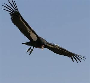 World All Animals  California Condor New Photos