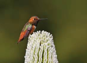 flower encyclopedia allen 39 s hummingbird