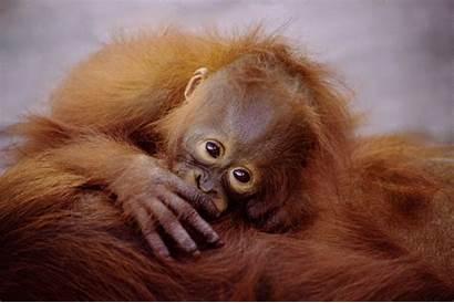 Monkey Brown Orangutan Wallpapers Animal Monkeys Background