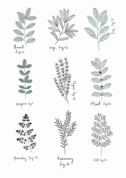 Herbs Herb Drawings Illustration Botanical Visual