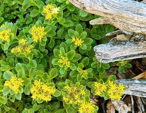 bodendecker gelb blühend gelb bl 252 hende fetthennen als bodendecker im garten freshouse