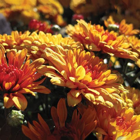 spectacular annual fall flowers costa farms