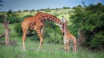 Giraffe Kenya Wildlife Reticulated Africa Animal Wallpapers
