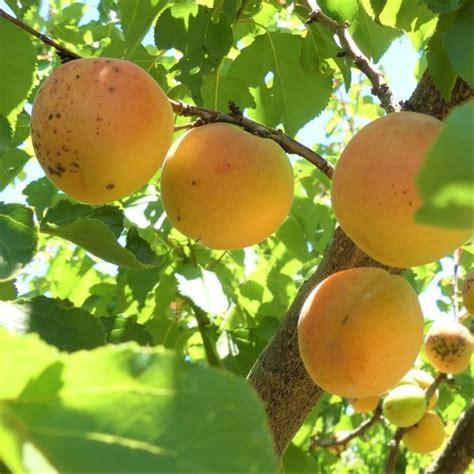 Blenheim Apricot Tree   Naturehills.com