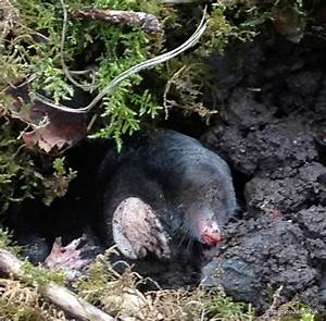 wildlife wednesday mole hole