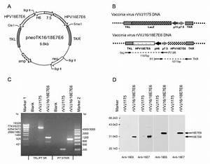 Construction Of Recombinant Vaccinia Virus Rvvj16  18e7e6