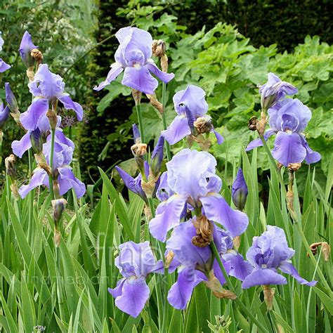 iris blue rhythm information pictures cultivation tips