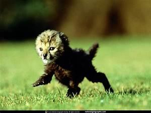 baby black tiger | Animals | Pinterest