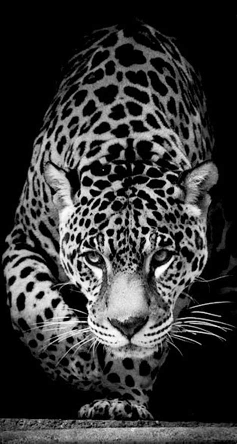 Jaguar Animal Iphone Wallpaper - animal jaguar the iphone wallpapers