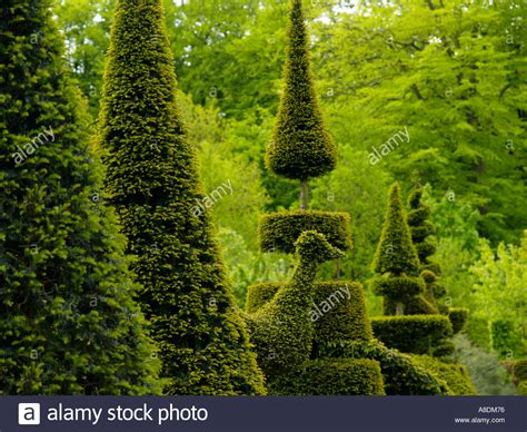 pruning yew trees the art of pruning a line of taxus yew trees bushes cut trimmed stock photo royalty free image
