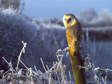 feeding barn owls  barn owl trust