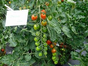 Grüne Tomaten Nachreifen : tomaten nachreifen lassen ist m glich unsere tipps ~ Lizthompson.info Haus und Dekorationen