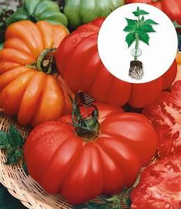Tomaten Krankheiten Bilder : veredelte tomate 39 costoluto genoves tomaten bei baldur garten ~ Frokenaadalensverden.com Haus und Dekorationen