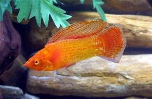 Image Gallery orange tropical fish