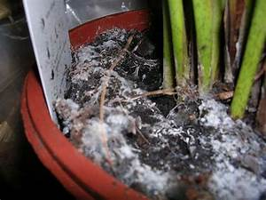 Schimmel In Pflanzen : anf nger mit vielen fragen zu zimmerpalmen seite 1 palmen ~ Bigdaddyawards.com Haus und Dekorationen