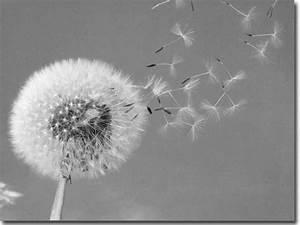 Bild Pusteblume Schwarz Weiß : fensterbild fotofolie mit pusteblume bedruckte folie ~ Bigdaddyawards.com Haus und Dekorationen