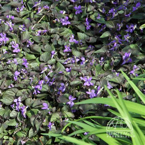 perennial for areas top 10 perennials for shady gardens dry shade purple labrador violet viola labradorica not