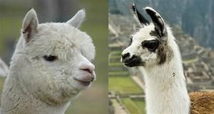 6 Differences Between Llamas and Alpacas - Modern Farmer