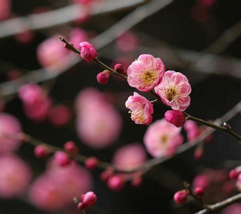 japanese plum red flower ume japanese plum prunus