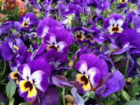 fiori le viole fiorivano le viole oltreilbalcone
