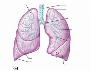 Class Blog  Bio 202 Respiratory System Worksheet
