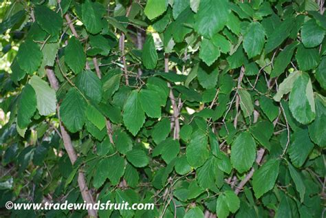 picture of witch hazel plant flowers planets witch hazel plant