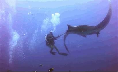Manta Ray Gifs Animal Divers Fishing Giant