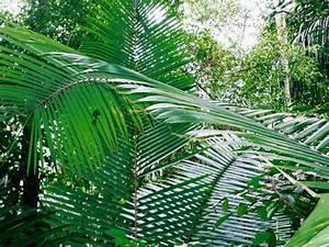 Palla, Conta or Shapaja Palm (Attalea butyracea) Amazon ...