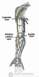 Venous Drainage Of The Upper Limb - Basilic